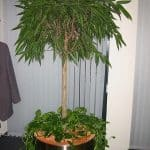 zimmerpflanzen-8