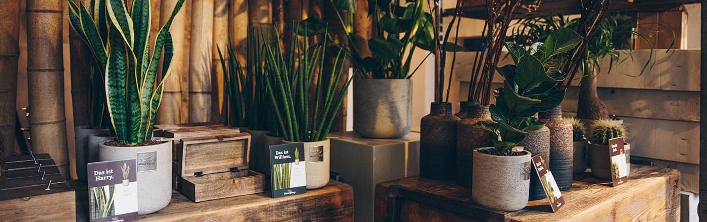 maennerpflanze
